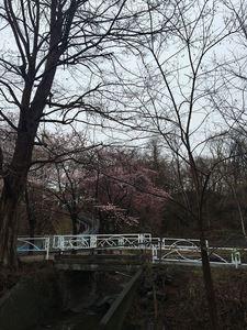 月寒公園の桜2016.jpg
