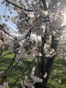 豊平川桜の杜2021.jpg