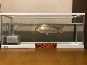 金魚すくい4/4.jpg